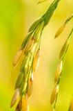 Grões do arroz do ouro Imagem de Stock Royalty Free