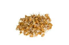 Grões do germe de trigo isoladas Imagem de Stock Royalty Free