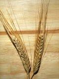 Grões do trigo Imagem de Stock