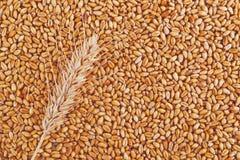Grões e orelhas do trigo como o fundo agrícola Fotografia de Stock Royalty Free