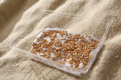 Grões germinadas do trigo Imagens de Stock Royalty Free