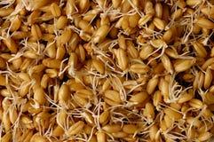 Grões Sprouted do trigo Imagens de Stock Royalty Free