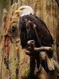 Größengleichportrait des amerikanischen Adlers Lizenzfreie Stockbilder
