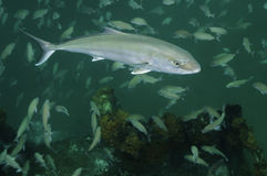 Größere Amberfisch - Schule von Tomtate Lizenzfreie Stockfotos