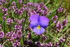 Größere blau-purpurrote Blume in der Gruppe der kleinen purpurroten Blume Stockfoto