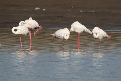 Größere Flamingos Lizenzfreie Stockfotografie
