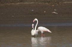 Größere Flamingos Stockfoto