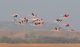 Größere Flamingos Stockfotografie