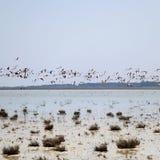 Größere Flamingos im Flug über Salt Lake in Zypern Lizenzfreie Stockfotografie