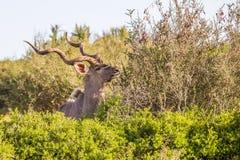 Größere kudu Nahaufnahme, Südafrika Lizenzfreies Stockfoto