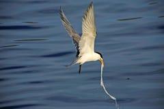 Größere mit Haube Seeschwalbe (Sterna bergii) Lizenzfreie Stockbilder