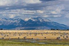 Größere Sandhill Kräne des Abweichen-in Monte Vista, Colorado lizenzfreie stockfotografie