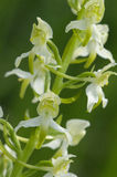 Größere Schmetterling-Orchidee Lizenzfreies Stockbild
