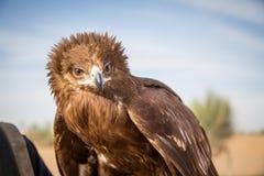 Größerer beschmutzter Adler Stockbild