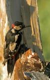 Größerer beschmutzter Specht Dendrocopos Major auf dem Baum trun Lizenzfreie Stockfotografie