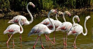 Größerer Flamingo Lizenzfreie Stockfotos