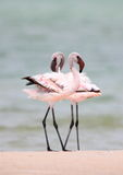 Größerer Flamingo Stockfotografie