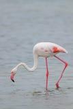 Größerer Flamingo Lizenzfreies Stockbild