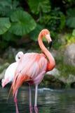 Größerer Flamingo lizenzfreie stockbilder