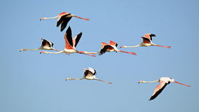 Größerer Flamingo stockbilder