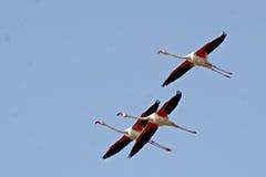 Größerer Flamingo stockbild