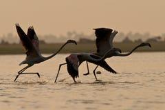 Größerer Flamingo Stockfotos