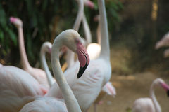 Größerer Flamingovogel Stockfotografie