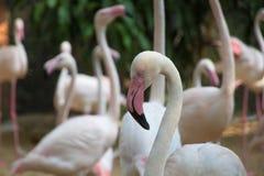 Größerer Flamingovogel Lizenzfreie Stockbilder