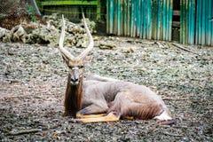 Größerer kudu Antilopenmann im Zoo stockfotos