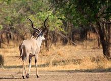Größerer Kudu-Dollar, der weg von Kamera in Richtung zu afrikanischen Bush, Süd-Nationalpark Luangwa, Sambia geht Stockbilder
