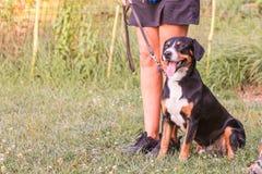 Größerer Schweizer Gebirgshund stockfoto