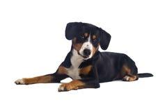 Größerer Schweizer Gebirgshund stockfotos