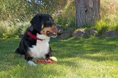 Größerer Schweizer Gebirgshund mit Spielzeug Stockbild