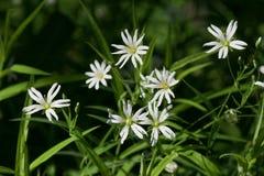 Größerer Stitchwort Stellaria holostea Blume Stockfotografie