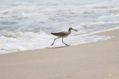 Größerer Yellowlegs erhält eine Seeschnecke, Playalinda-Strand, Merritt I lizenzfreies stockfoto