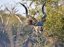 Größeres Kudu Lizenzfreie Stockfotos