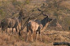 Größeres Kudu Lizenzfreies Stockfoto