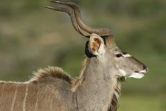 Größeres Kudu, Addo Elephant National Park Lizenzfreie Stockfotos