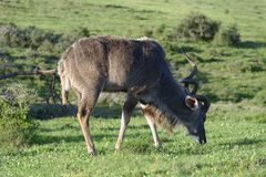 Größeres Kudu, Addo Elephant National Park Lizenzfreies Stockbild