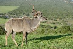 Größeres Kudu, Addo Elephant National Park Lizenzfreies Stockfoto