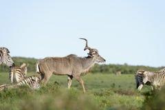 Größeres Kudu, Addo Elephant National Park Lizenzfreie Stockfotografie