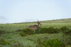 Größeres Kudu, Addo Elephant National Park Stockbild