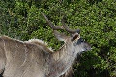 Größeres Kudu, Addo Elephant National Park Lizenzfreie Stockbilder