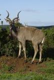 Größeres Kudu, Addo Elephant National Park Stockfotografie