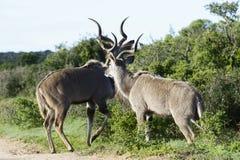 Größeres Kudu, Addo Elephant National Park Stockbilder