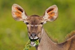 Größeres Kudu (Tragelaphus Strepsiceros) Lizenzfreies Stockbild