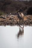 Größeres männliches kudu, das am waterhole überrascht ist Lizenzfreie Stockbilder