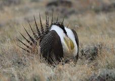 Größeres Salbei-Waldhuhn Centrocercus urophasianus an einem Lek in Se Wyoming Stockfoto