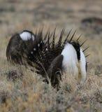 Größeres Salbei-Waldhuhn Centrocercus urophasianus an einem Lek in Se Wyoming 8 Stockfoto