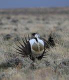Größeres Salbei-Waldhuhn Centrocercus urophasianus an einem Lek in Se Wyoming 11 Lizenzfreies Stockfoto
